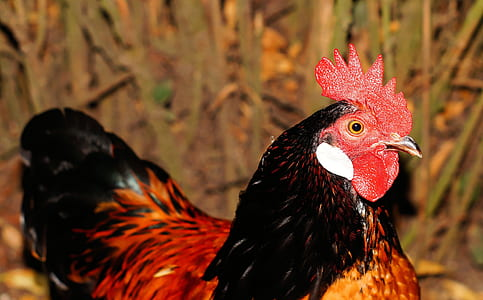 black and brown rooster