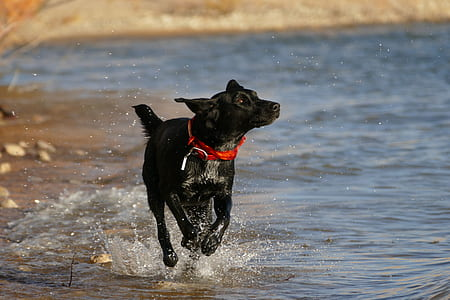 adult black Labrador retriever running beside beach