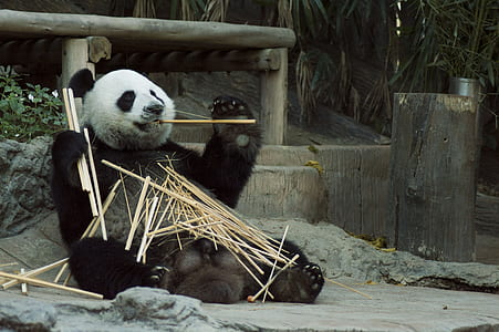 panda eating sticks