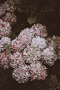 white and pink hydrangea flowers in closeup photo