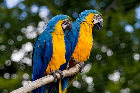 two blue-and-yellow macaws