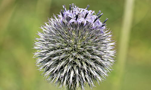 purple globe thistle flower in close up photography