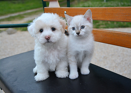 short-coated white puppy and white kitten siting on black bench