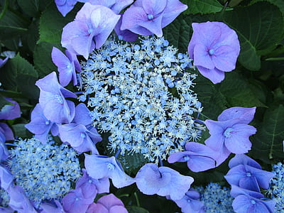 blue clustered flowers and purple 6-petaled flowers