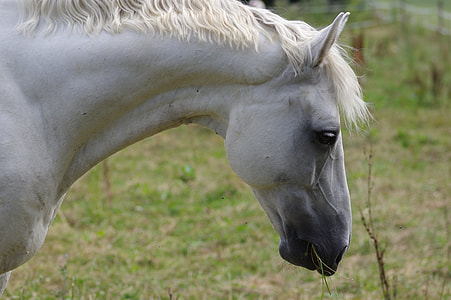 white horse eating a green grass