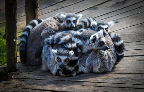 gray raccoons on brown wooden board