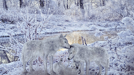 two gray snow wolves
