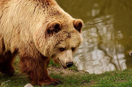 brown bear beside body of water during daytime
