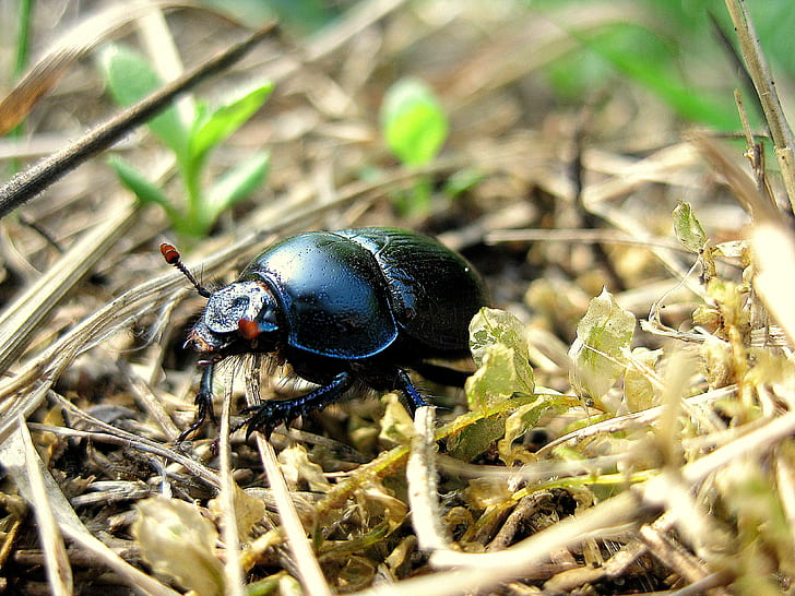Black June Bug