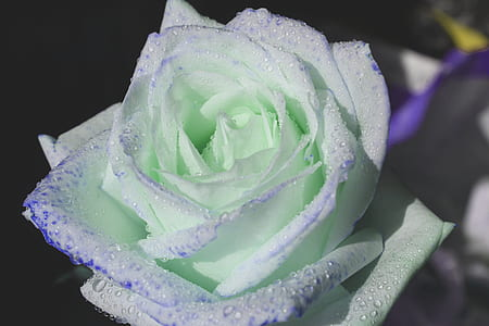 green and white rose closeup photography