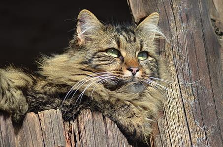 brown and black Persian cat