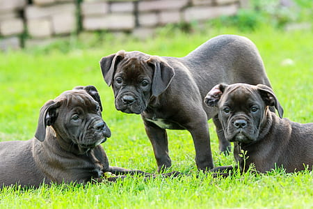 three gray puppy litter on green grass