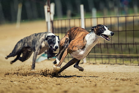 two grey brindle and brown brindle greyhounds racing