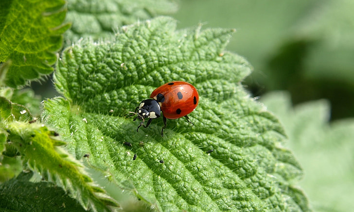 close up photo of spotted ladybug on green leaf