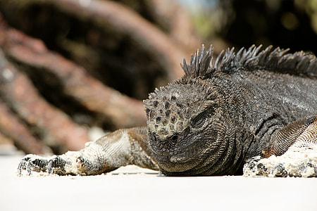 grey and black iguana