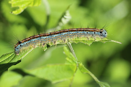 forest tent caterpillar perched on green leaf plant in closeup photography