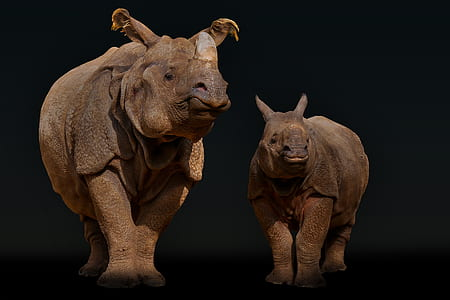 two brown rhino