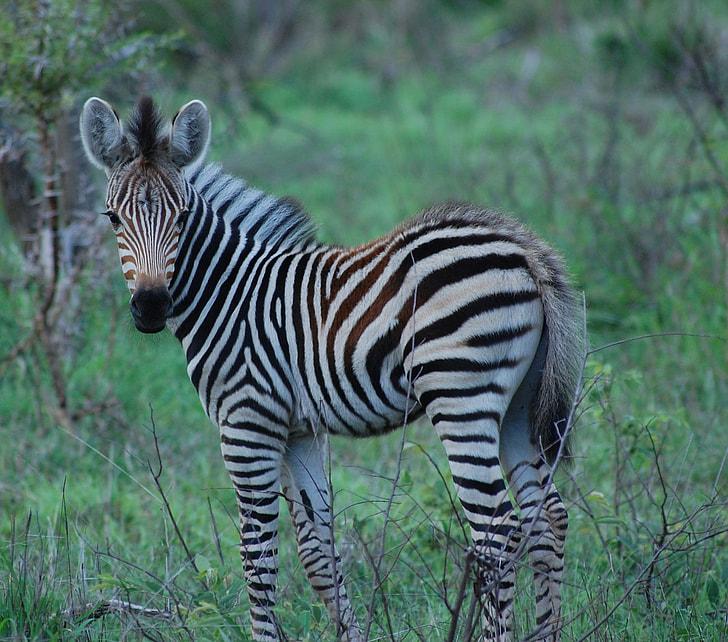 white and black zebra