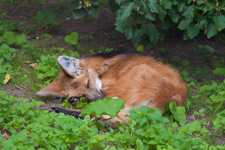 brown fox lying on ground