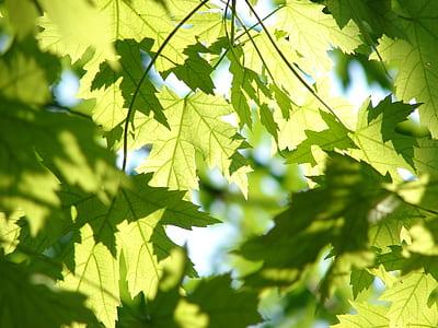 green maple leaves wallpaper