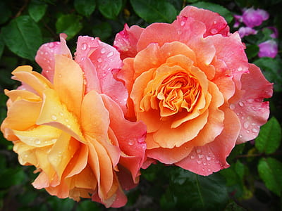 photo of two orange roses
