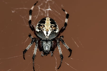 Black and Grey Spider