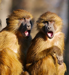 two brown apes with opened mouths