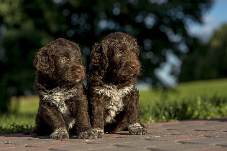 two long-coated brown puppies