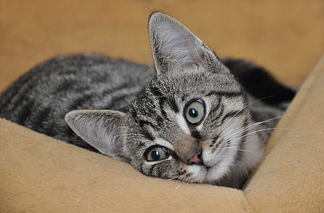 grey tabby cat on beige pet bed