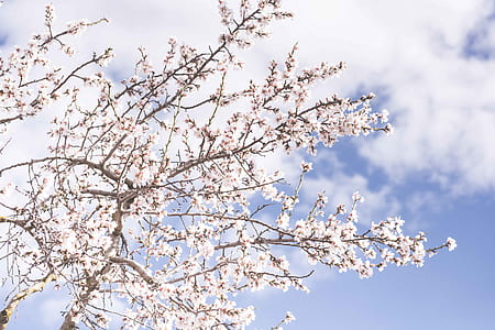 low angle photo of white cherry blossoms at daytime