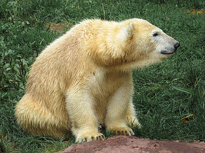 polar bear sitting on grass