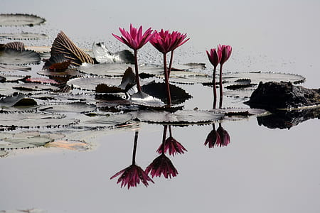 4 Pink Lilies on Pond