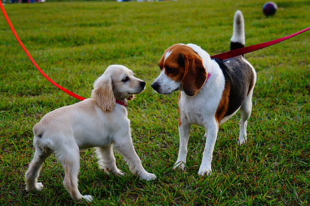 adult white, black, and brown beagle and brown English cocker spaniel puppy