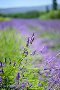 shallow depth of field photo of lavender