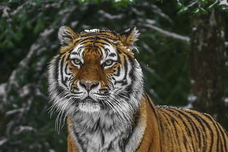 tilt lens photography of tiger during daytime