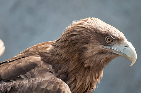 close up photo of brown eagle