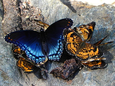 several blue and orange butterflies on rock