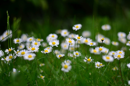 photo of white daisy flowers