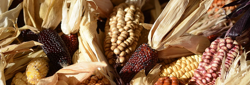 ornamental corn, corn, corn on the cob, cereals, wine red, agriculture