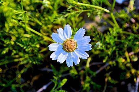 White Daisy Flower