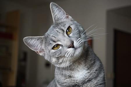 gray cat tilting its head