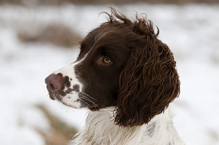 long-coated white and brown dog