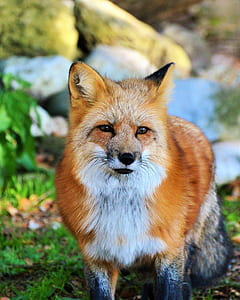 white and brown fox