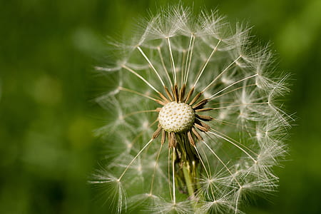 selective focus photography of dandelion plant