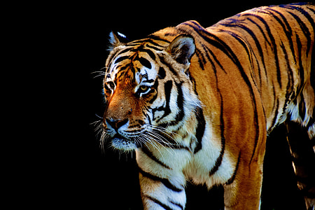 photography of tiger