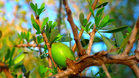 oval green fruit on tree during daytime