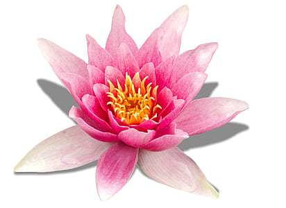 pink water lily flower in closeup photo