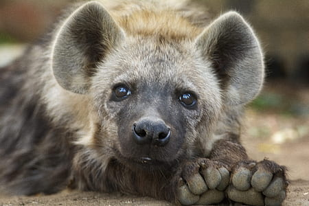 brown and black hyena