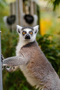 Close Up Photography of Lemur during Daytime