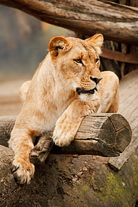 photo of adult lioness